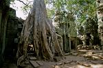 Ta Prohm temple, trees growing on the ruins
