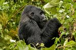 a first glimpse of a Gorilla, Parque National des Virunga
