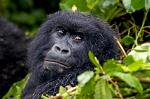 the Mountain Gorilla (Gorilla Gorilla Beringei)