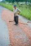 man drying cocoa beans on the side of the road