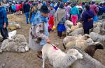 woman marking sheep at the animal market