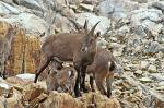 Chamois, mountain goats, at the Lacs Noirs