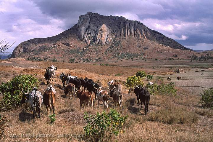 cattle at Sakaraha, Isalo Mountains, Horombe Plateau