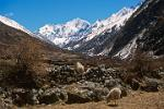 Pictures of Nepal - Langtang Trek - sheep with Gang Chenpo Mountain, above Langtang Village