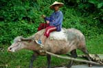 Pictures of the Philippines - a boy on a Water Buffalo or Caraboa