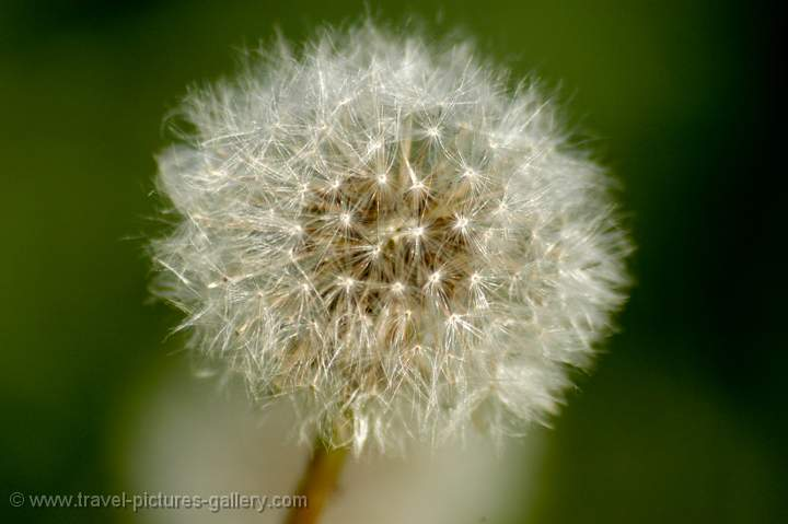 Dandelion, (Taraxacum officinale), Holland