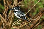 a Pied Kingfisher (Ceryle rudis)
