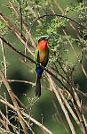 a Red-throated Bee-eater (Merops bulocki)