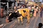 a bright yellow holy cow, from the Holi festival
