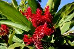 tropical red ginger flower