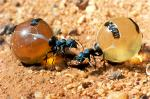 Honey Ants, Alice Springs Desert Park, Australia