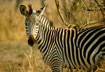 Zebra, South Luangwa National Park, Zambia