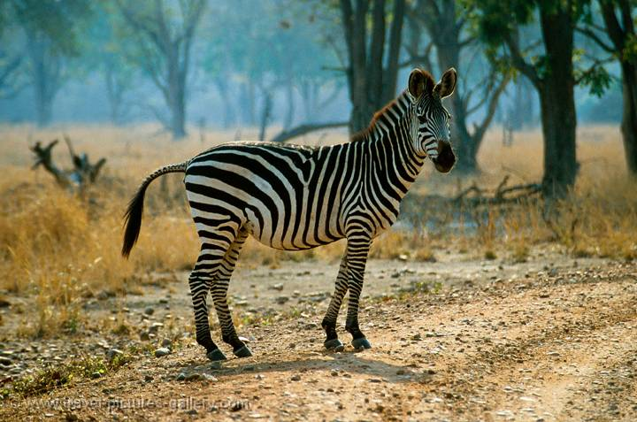 zebra crossing, Hwange National Park, Zimbabwe